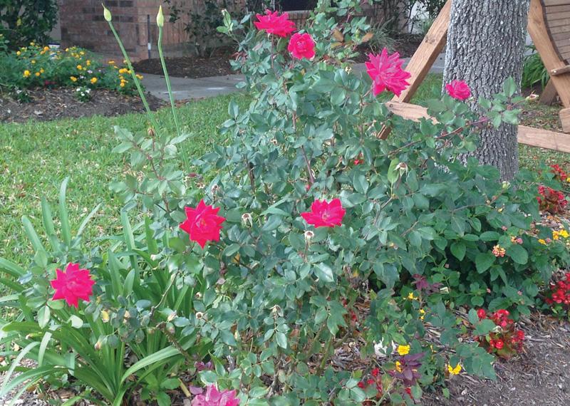 Cultivando Rosas